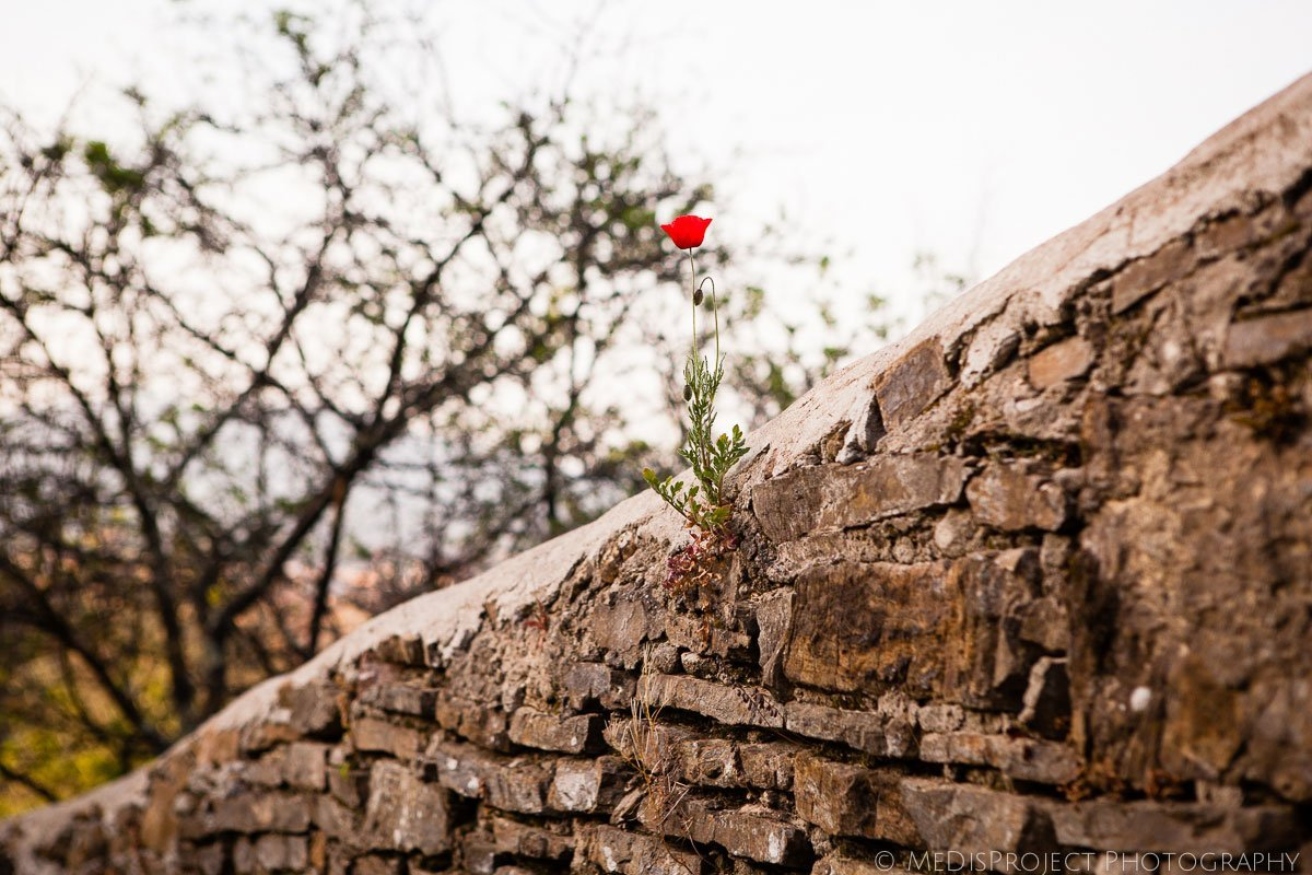 Poppy flower on top of an old Florentine wall