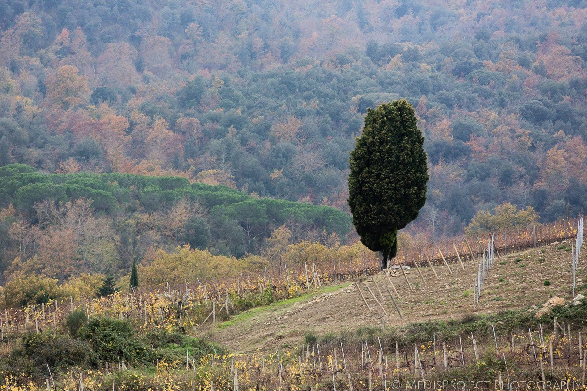 lonely cypress tree on a hill in san gimignano