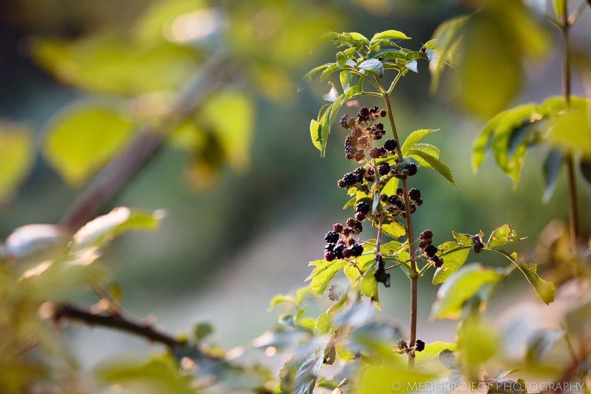 blackberry plant Rubus fruticosus
