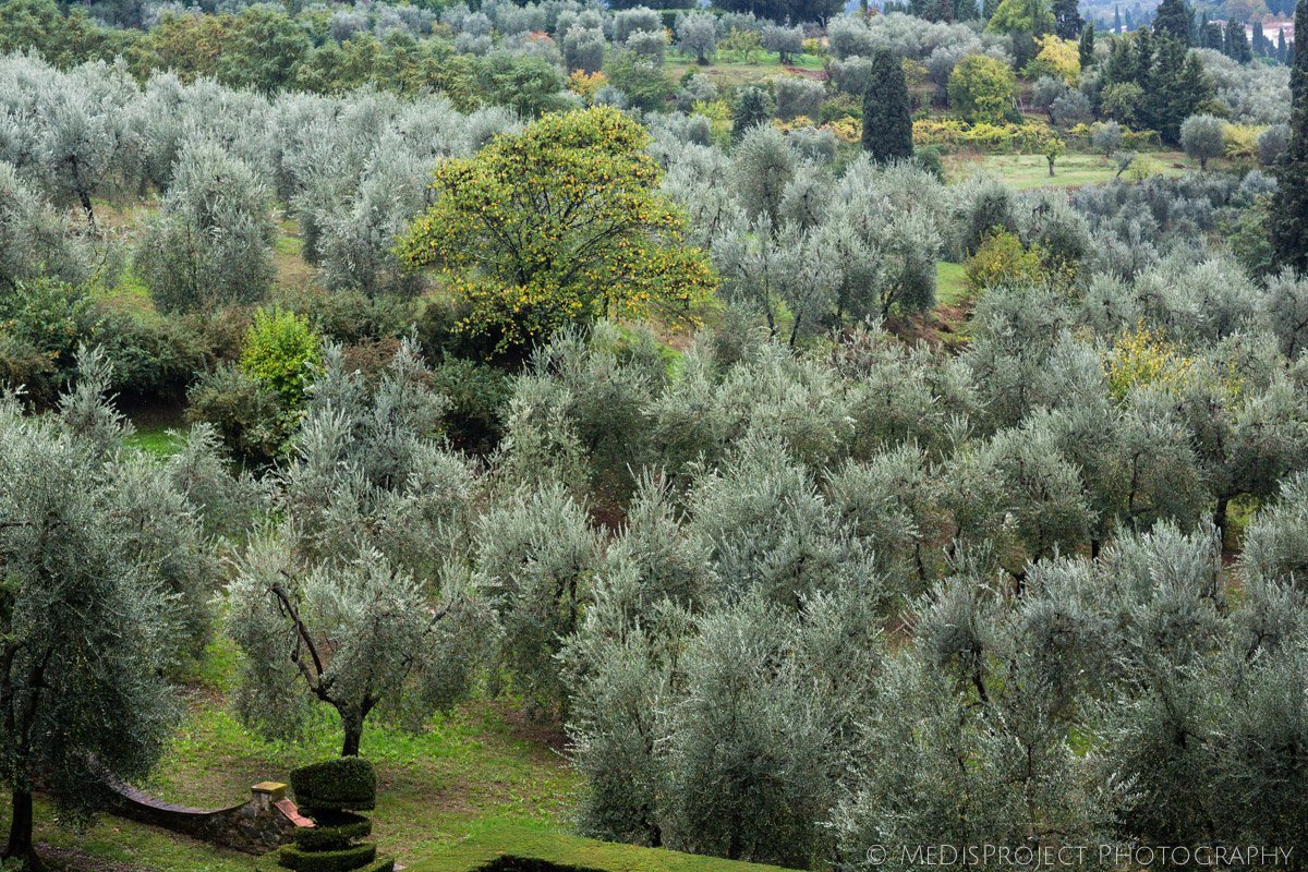 the olive grove of Villa Agape in Florence