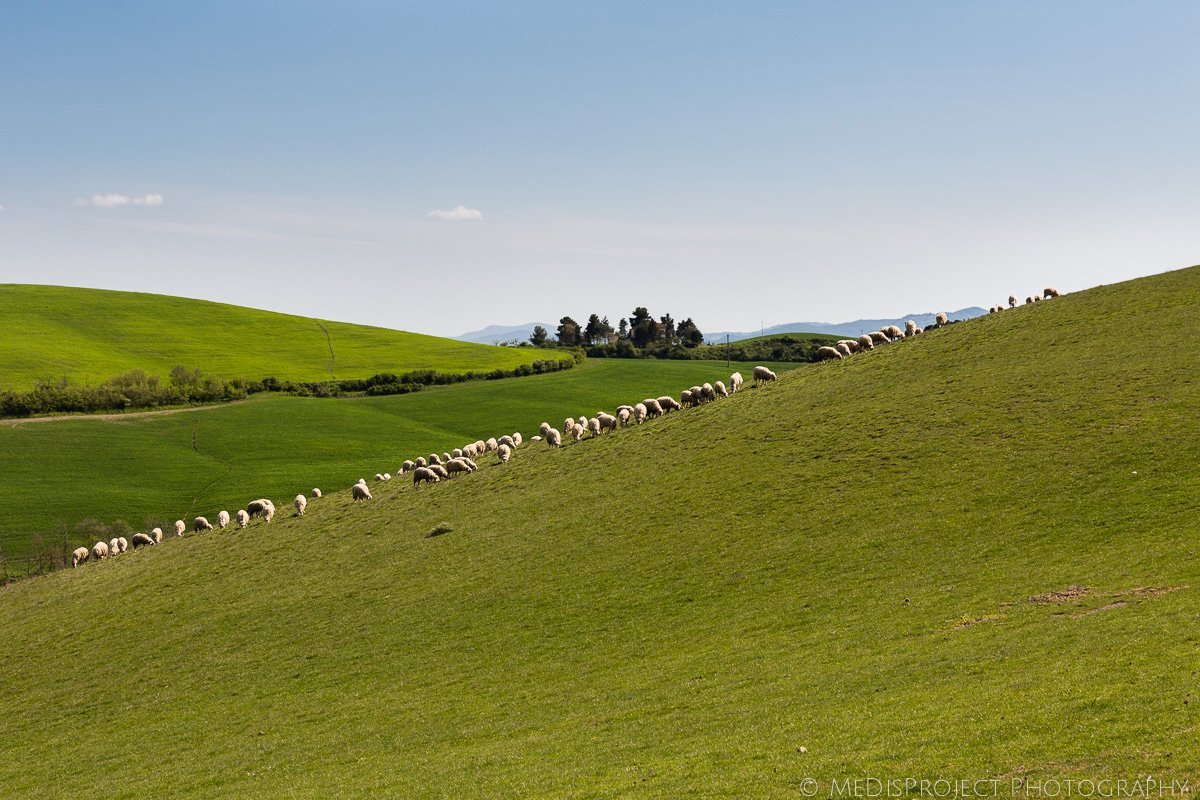 sheeps in the Tuscan fields
