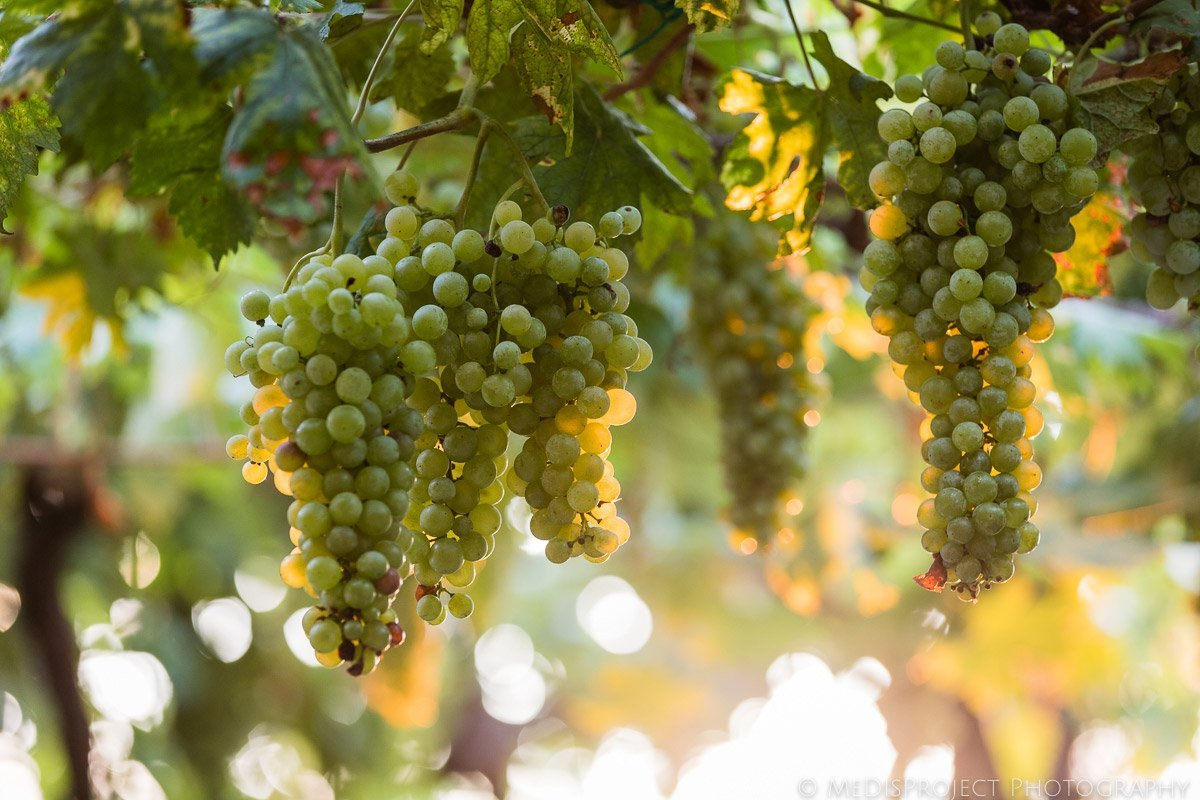 grapes in borgo san felice