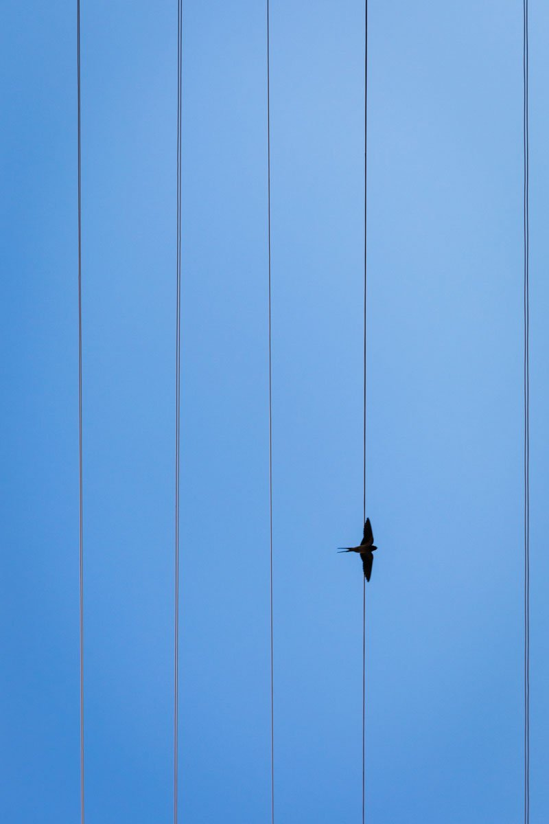 swallow flying in the blue sky