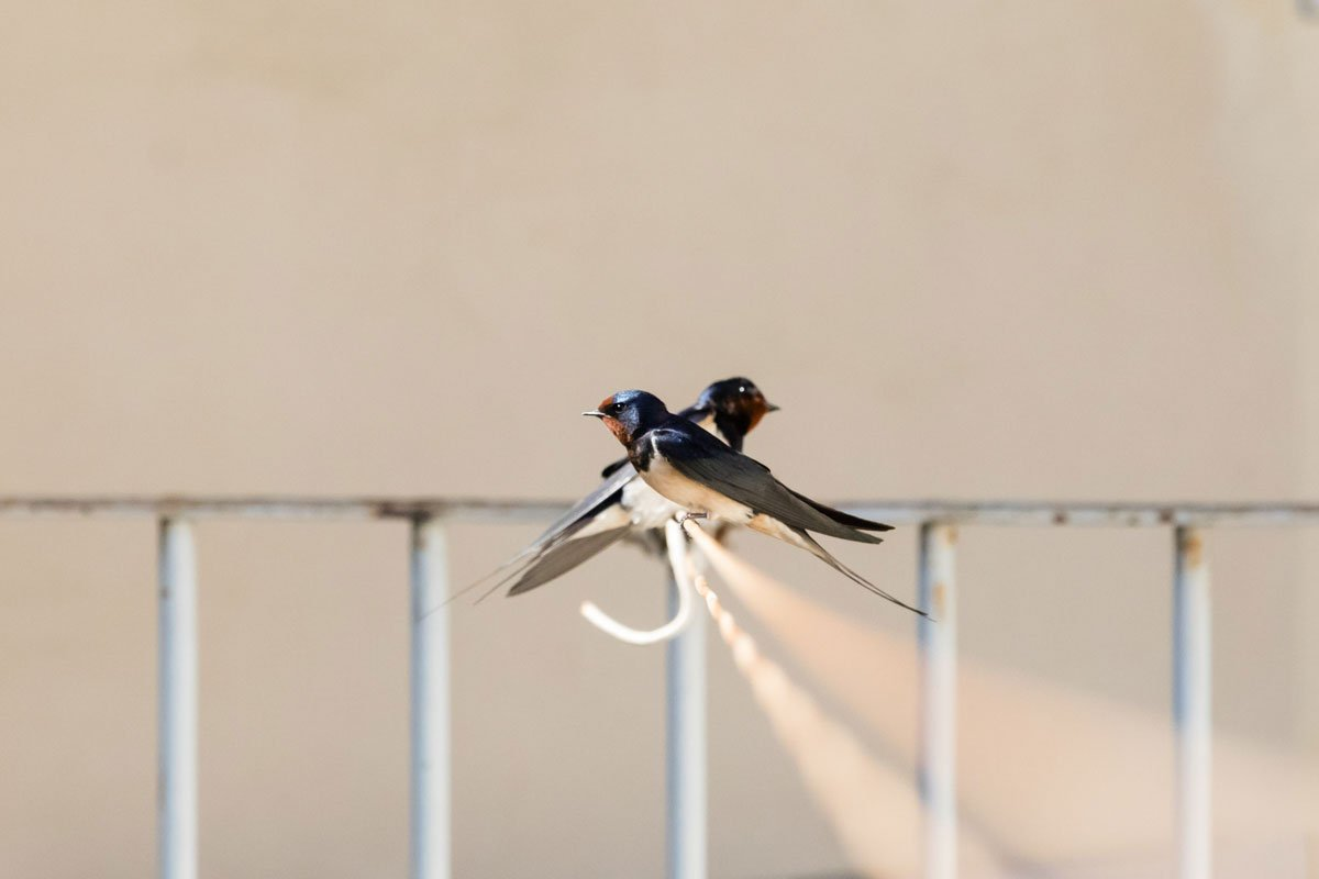 Swallows sitting on a line